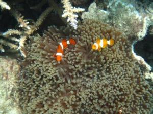 Anemon fish atau sering disebut Nemo